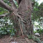 Gajumaru Banyan Garden