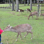 Nara karmienie jeleni