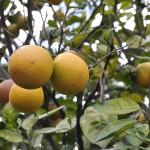 Pomarańcze z Kostaryki