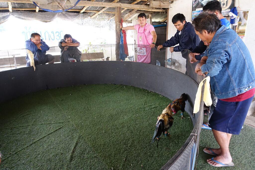 Arena walki kogutów w Tajlandii